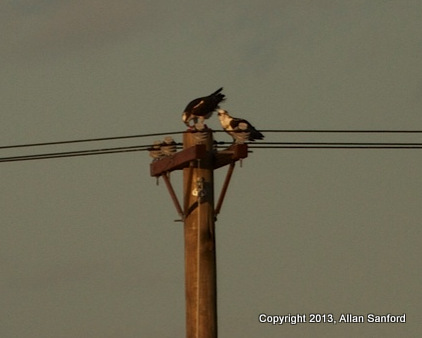 Allan osprey 4