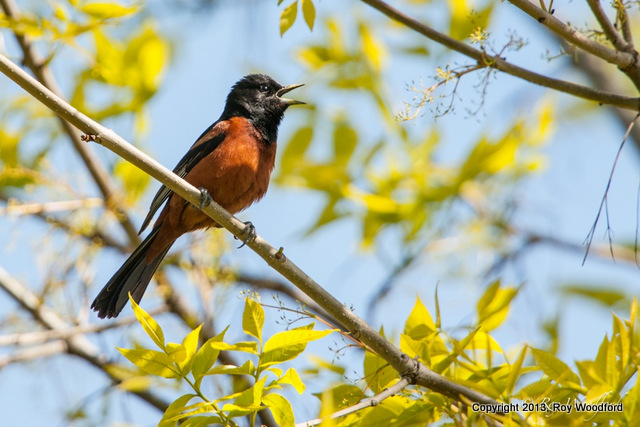Roy Orchard Oriole