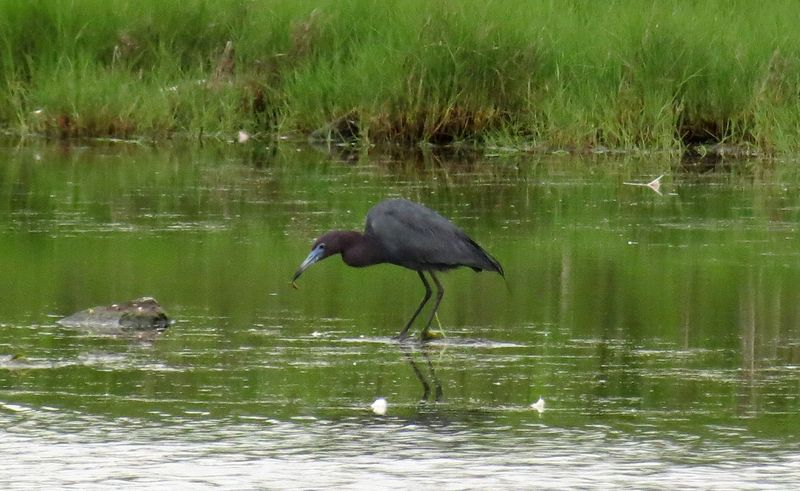 Little Blue Heron HM 2