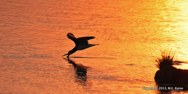 IMG_7645b B Black Skimmer 014 MCM Mdwlnds NJ Twilight 060913 OK