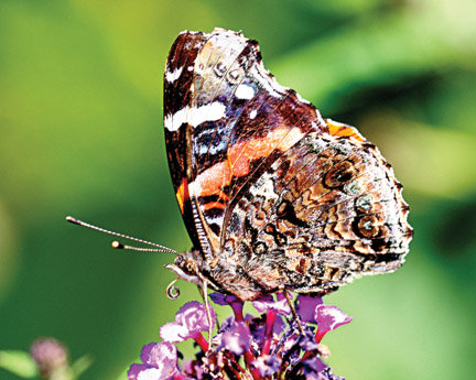 "RED ADMIRAL POPULATION SURGE – Photo courtesy of the New Jersey Meadowlands Commission. The red admiral butterfly population has increased, and many were spotted at the Meadowlands Commission's ""Butterfly Day."""