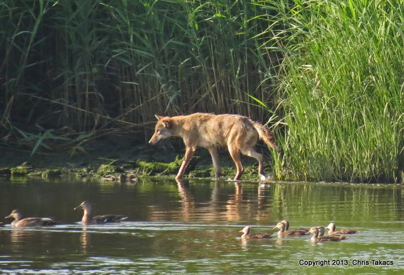 Coyote NJM