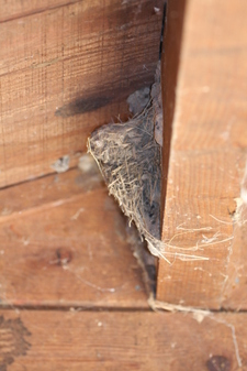 Barn_swallow_nest