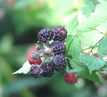 Black_raspberry