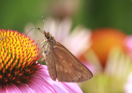 Broadwinged_skipper_2