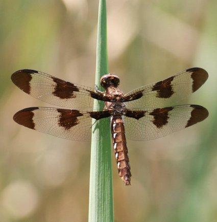 Dragonfly_1