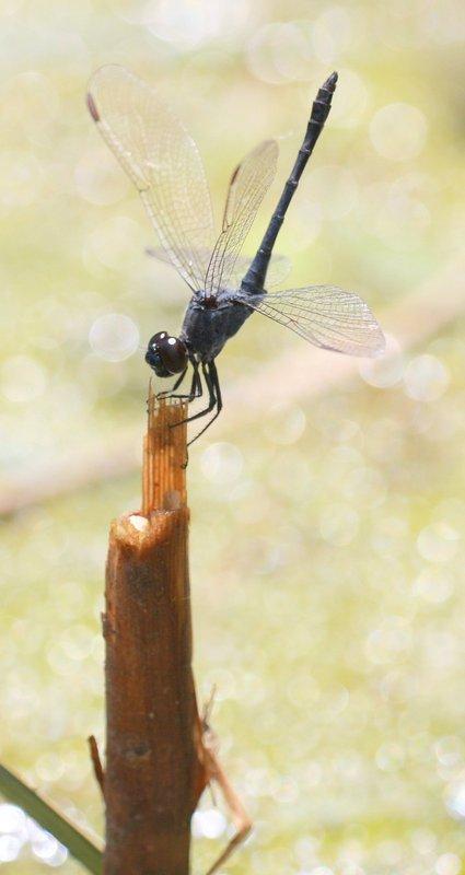 Dragonfly_b