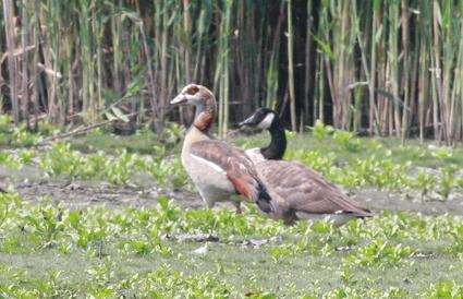 Egyptian_goose