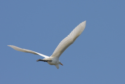 Great_egret1