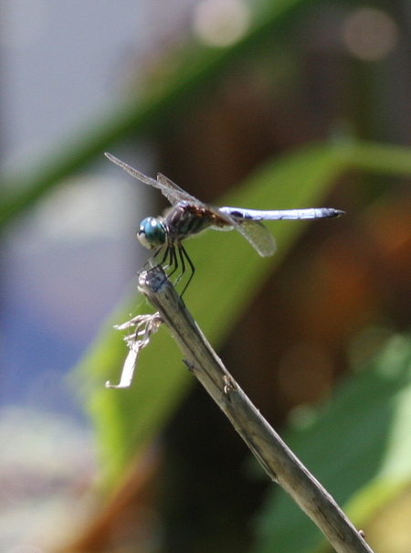 Male_blue_dasher_dragonfly
