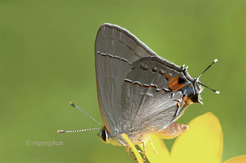 July 20_Butterfly-Gray HairstreakSM_4960