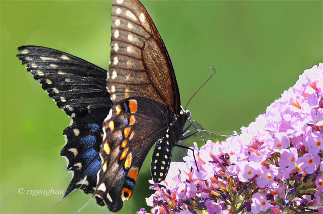 July 8_Butterfly-BlackSwallowtailSM_3829-1