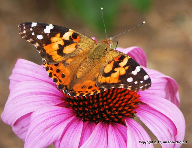 NJMC Mlands butterfly