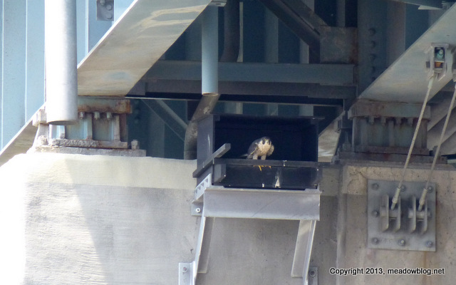 PEREGRINE FALCON BOX Rt 3 WEST BRIDGE 003