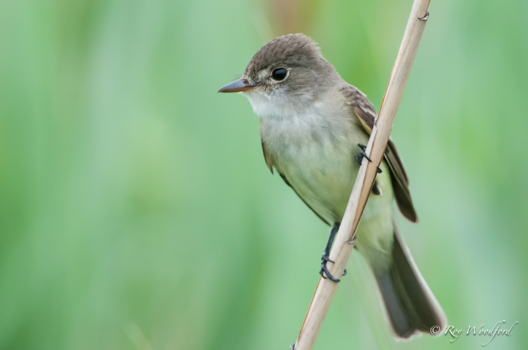 woodford flycatcher
