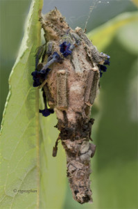 August 11_Bagworm MothSM_RTGeoghan_6986 (2)-001
