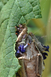 August 11_Webworm Moth CloseupSM_RTGeoghan_6971-002