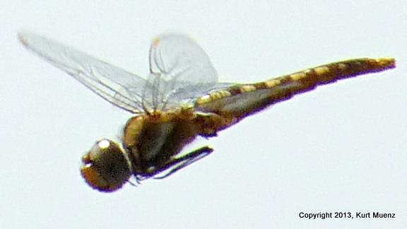 Spot-wingedGlider(f-imm)-DeKorteParkNJ-08-6-13-b(1)