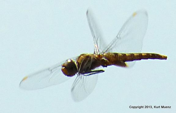 Spot-wingedGlider(f-imm)-DeKorteParkNJ-08-6-13(1)