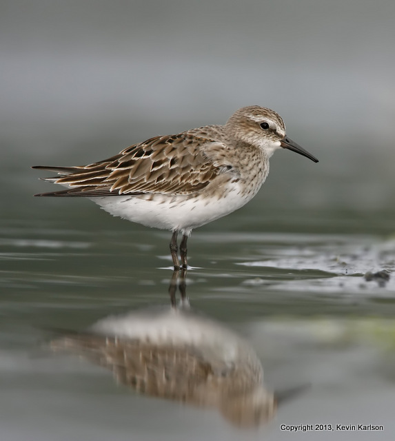 White-rumped Sandpiper August molting to nonbreeding plumage