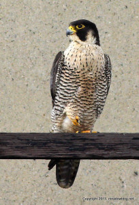 Peregrine NJTurnpike west spur bridge
