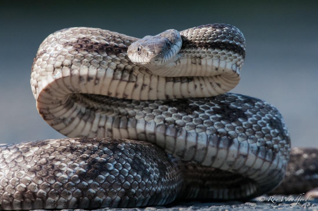 Roy snake-002