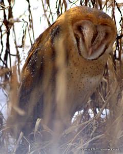 Ground-roosting Barn Owl