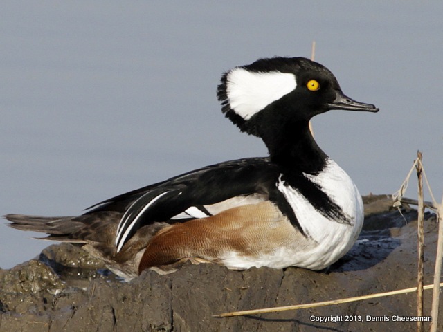 1-hooded merganser-001