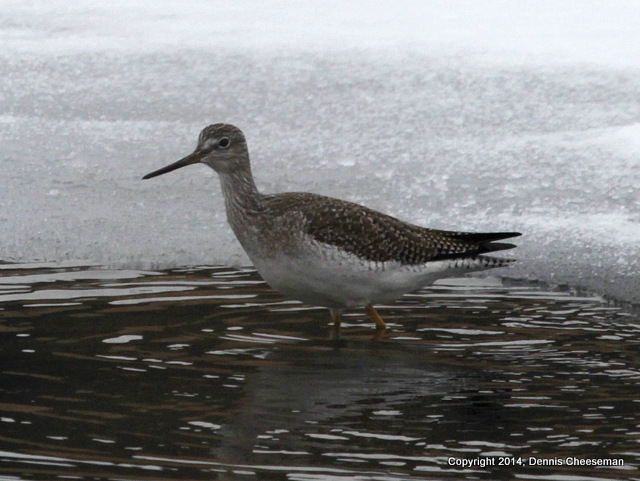 1-greater yellowlegs