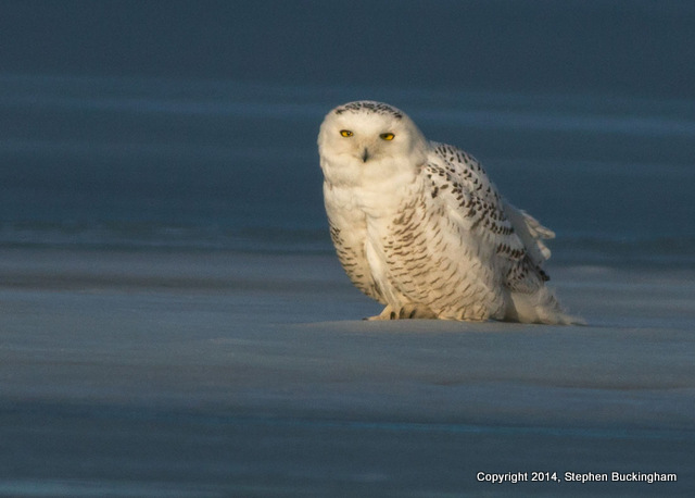 2-Buckingham snow owl 1