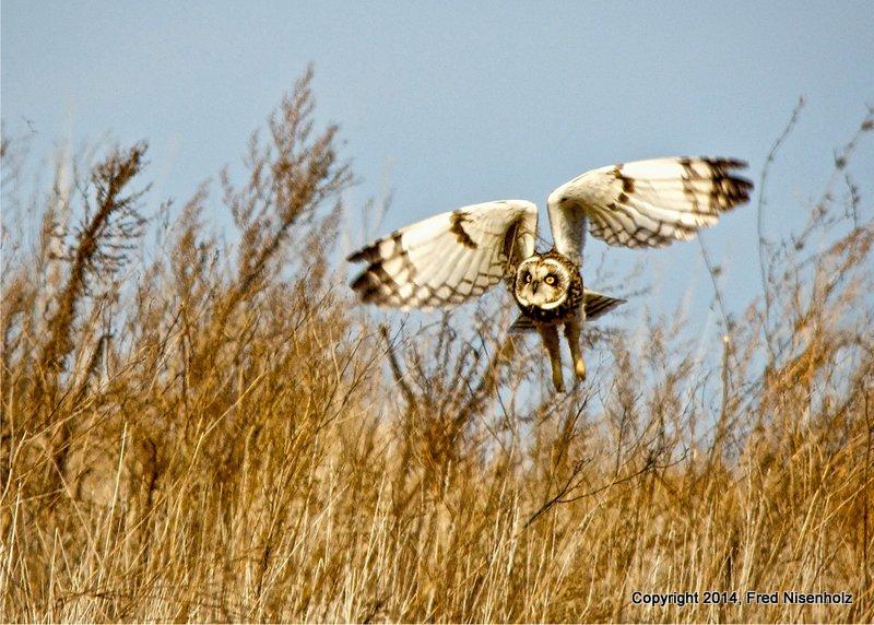 Fred Nisenholz owl 4