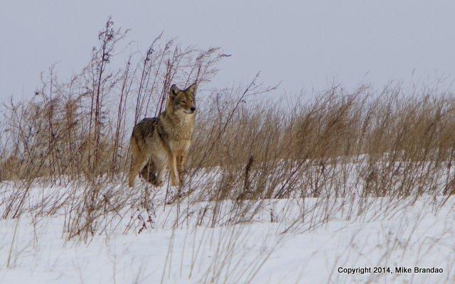 Mike Brandao Coyote 031014