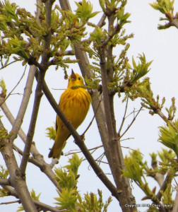 1-Yellow Warbler HM