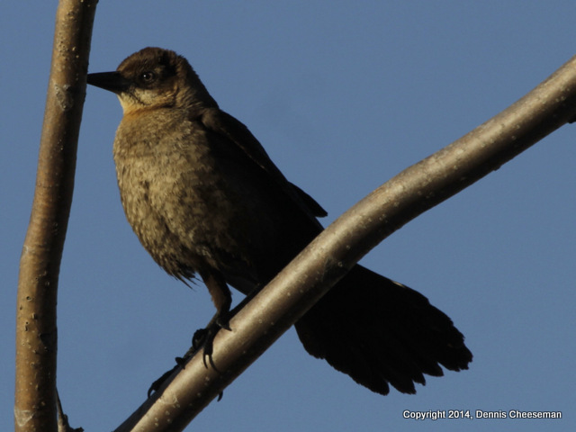 1-boat tail grackle