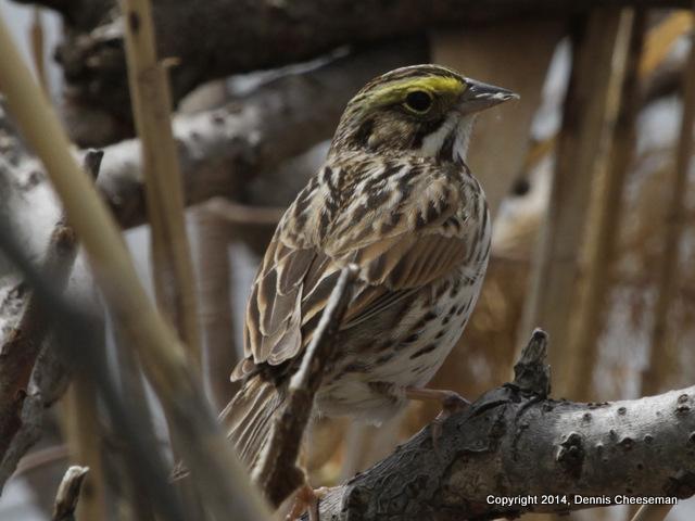 1-savannah sparrow