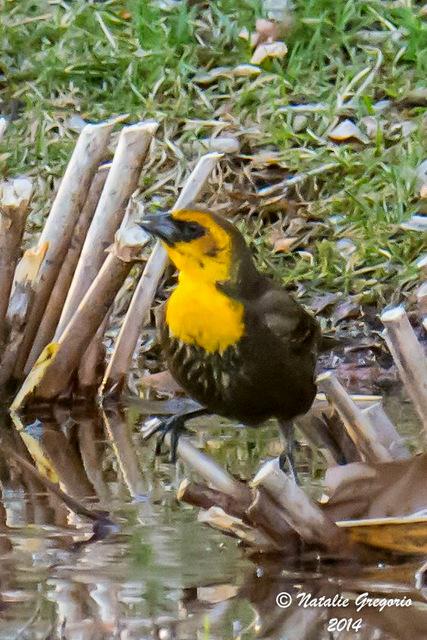 1-yellowheadedblackbird