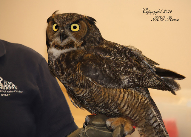 10-000 FTD B Owl, Great Horned 001af RchrdDKorte Park Mdwlnds NJ OWL TALK 040614 OK FLICKR