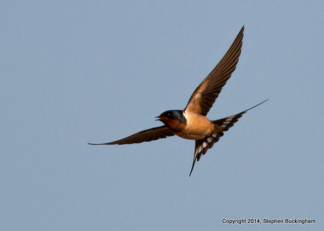 2-Barn Swallow