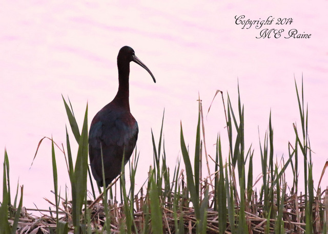 050214 FTD B Ibis Glossy 001af RchrdDKorte Park Mdwlnds NJ at Dusk 050214 OK FLICKR