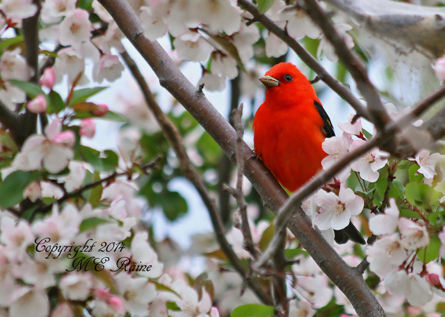 050314 FTD B Tanager Scarlet 001df RchrdDKorte Park Mdwlnds NJ 050314 OK FLICKR