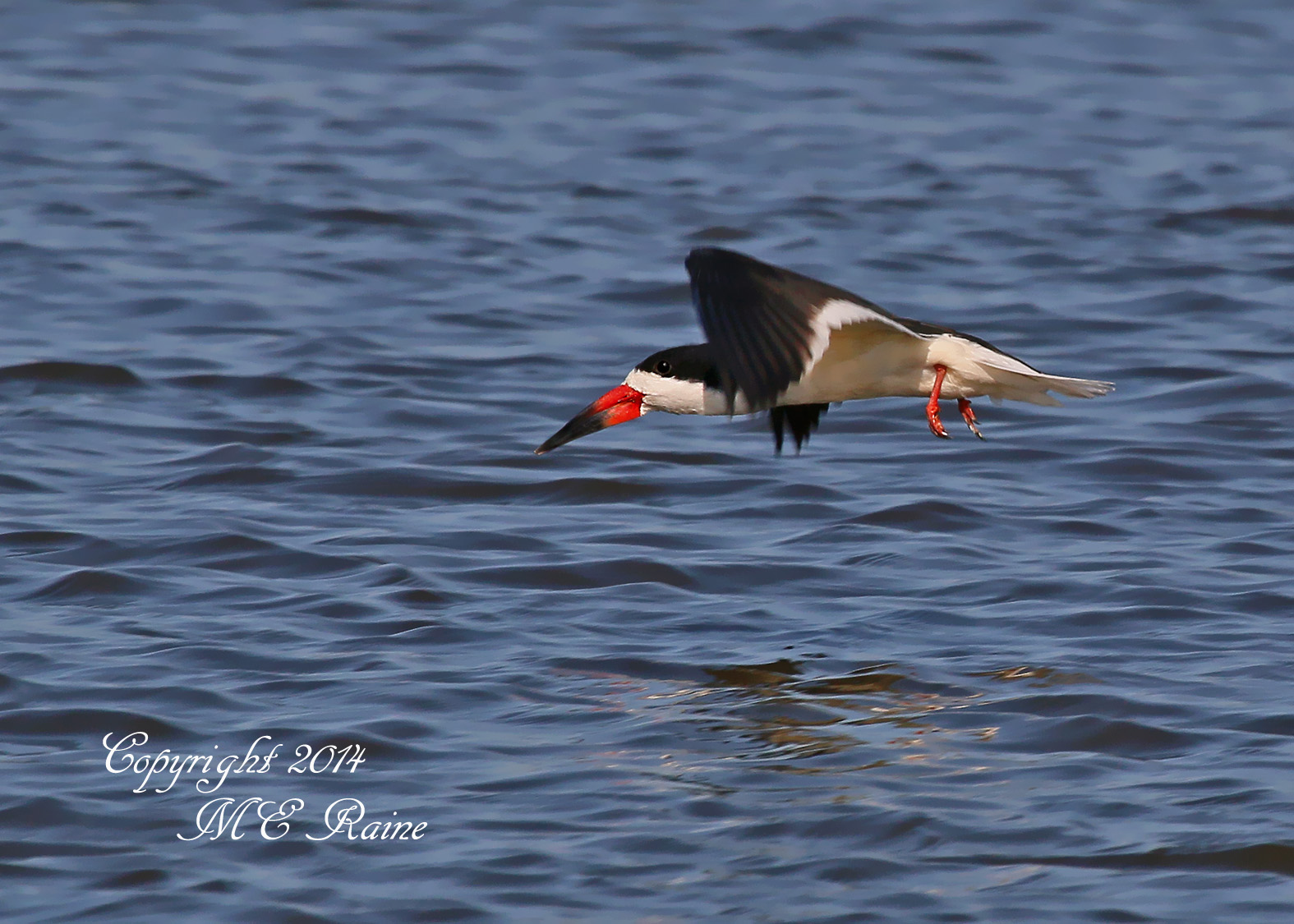 052014 FTD B Black Skimmer 001df River Barge Park in Carlstadt Mdwlnds NJ 052014 OK FLICKR