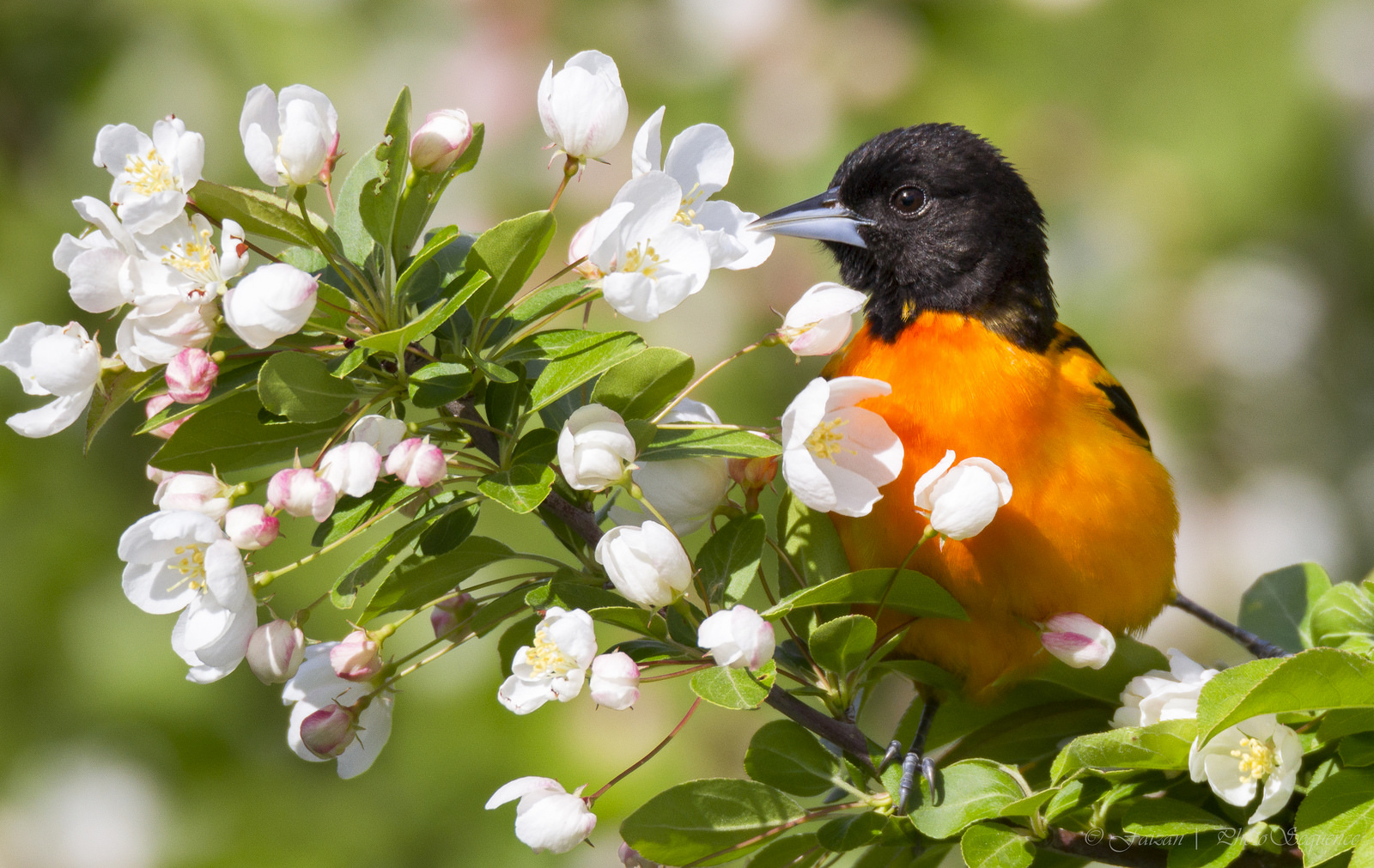 1-Baltimore_Oriole_1