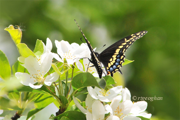 May 6_Swallotail Butterfly-CrabappleSM_ReginaGeoghan_5419