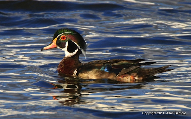Allan Sanford Wood Duck 062914-001