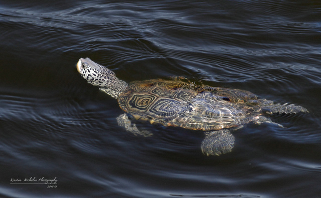 Diamond Back Terrapin swimming cr