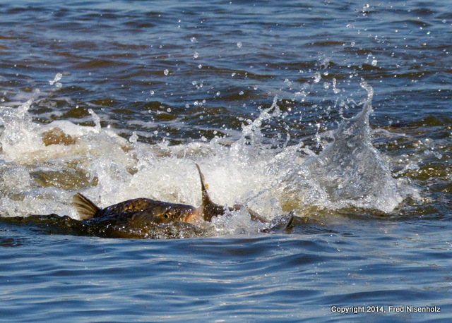 carp explosion fred