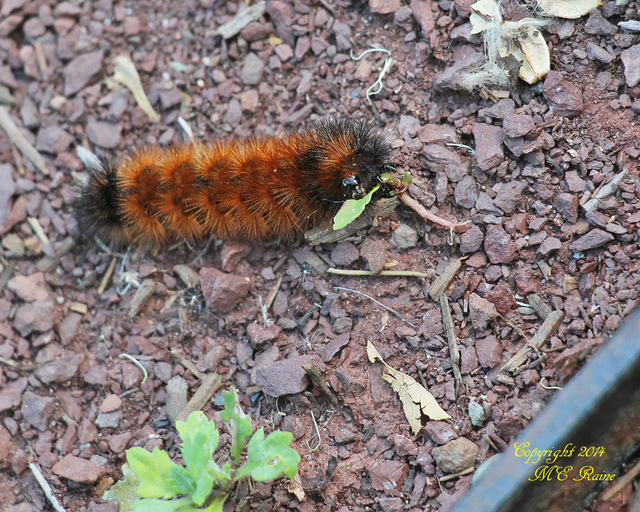 070614 FTD I Caterpillar Woolly Bear Moth 001aEf MCM Mdwlnds NJ 070614 OK FLICKR