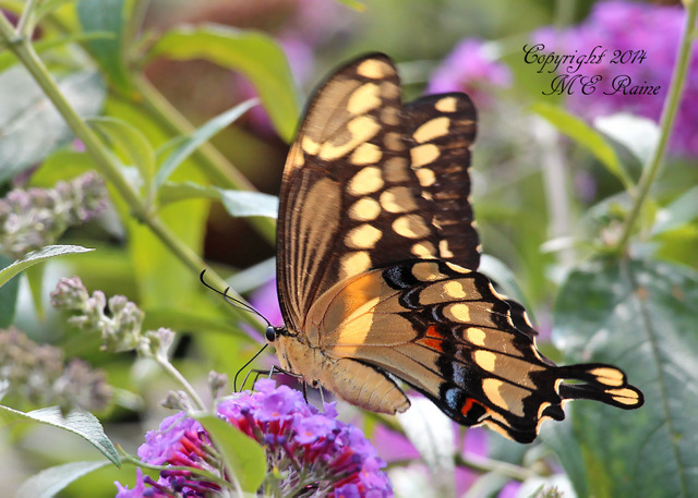 081914 FTD I Swallowtail, Giant 001bEf RchrdDKorte Park Mdwlnds NJ 081914 OK FLICKR