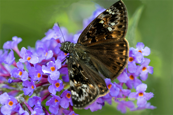 August 10_Butterfly-Horace'sDuskywingSM_5243-001