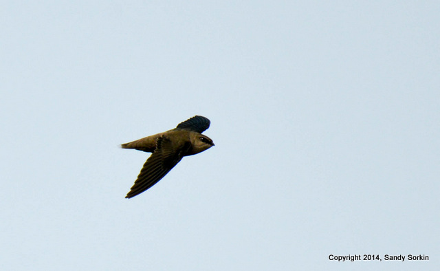 Sorkin Chimney Swift